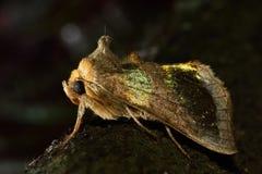 Γυαλισμένος σκώρος ορείχαλκου (chrysitis Diachrysia) Στοκ Φωτογραφία