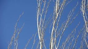 Γυμνά δέντρα με το μπλε ουρανό απόθεμα βίντεο