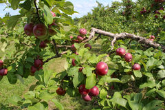γυμνά πλήρη φύλλα ένα μήλων δέντρα Στοκ Εικόνες