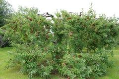 γυμνά πλήρη φύλλα ένα μήλων δέντρα Στοκ φωτογραφίες με δικαίωμα ελεύθερης χρήσης