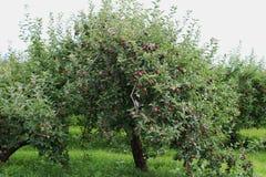 γυμνά πλήρη φύλλα ένα μήλων δέντρα Στοκ εικόνες με δικαίωμα ελεύθερης χρήσης