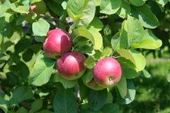 γυμνά πλήρη φύλλα ένα μήλων δέντρα Στοκ φωτογραφία με δικαίωμα ελεύθερης χρήσης