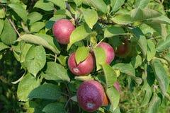 γυμνά πλήρη φύλλα ένα μήλων δέντρα Στοκ Φωτογραφίες