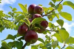 γυμνά πλήρη φύλλα ένα μήλων δέντρα Στοκ εικόνα με δικαίωμα ελεύθερης χρήσης