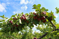 γυμνά πλήρη φύλλα ένα μήλων δέντρα Στοκ Φωτογραφία