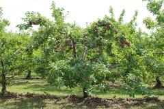 γυμνά πλήρη φύλλα ένα μήλων δέντρα Στοκ Εικόνα