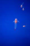 Γυμνή πεταλούδα θάλασσας ή άγγελος θάλασσας (κοινό Clione) στο Hokkaido, Ja Στοκ Φωτογραφίες