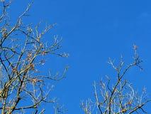Γυμνοί κλάδοι δέντρων ενάντια σε έναν μπλε ουρανό στοκ εικόνες