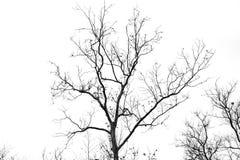Γυμνοί κλάδοι δέντρων σε ένα άσπρο υπόβαθρο Στοκ φωτογραφίες με δικαίωμα ελεύθερης χρήσης