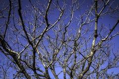 Γυμνοί κλάδοι δέντρων το χειμώνα και έναν σαφή μπλε ουρανό Στοκ εικόνα με δικαίωμα ελεύθερης χρήσης