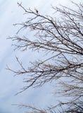 Γυμνοί κλάδοι ενός δέντρου ενάντια στον ουρανό πρωινού Στοκ Εικόνες