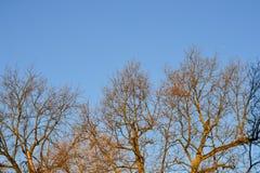 Γυμνοί κλάδοι ενός δέντρου Κλάδοι χωρίς φύλλα ενάντια στο μπλε ουρανό Στοκ Εικόνες