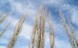 Γυμνοί κλάδοι μιας λεύκας ενάντια στο μπλε ουρανό Στοκ Εικόνες