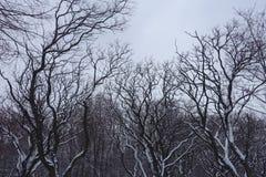 Γυμνοί κλάδοι του pseudoacacia Robinia που καλύπτονται με το χιόνι Στοκ Εικόνες