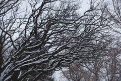 Γυμνοί κλάδοι του pseudoacacia Robinia που καλύπτονται με το χιόνι Στοκ Φωτογραφίες