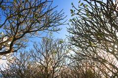 Γυμνοί κλάδοι των δέντρων Frangipani Plumeria Κλάδοι χωρίς φύλλα ενάντια στο μπλε ουρανό Στοκ Εικόνες