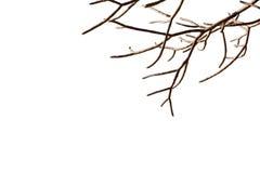 Γυμνοί κλάδοι δέντρων με το απομονωμένο άσπρο υπόβαθρο όμορφη φυσική μαραμένη άφυλλη μορφή εγκαταστάσεων κλαδίσκων ξύλινη Στοκ Εικόνες
