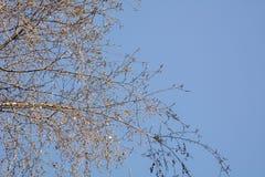 Γυμνοί κλάδοι με έναν μπλε ουρανό Στοκ Εικόνες