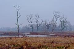 Γυμνοί χειμερινοί δέντρα και κάλαμος στην υδρονέφωση στο έλος στη φλαμανδική επαρχία στοκ φωτογραφία με δικαίωμα ελεύθερης χρήσης