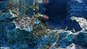 Γυμνοσάλιαγκας θάλασσας στη δεξαμενή νερού απόθεμα βίντεο