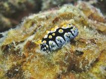γυμνοσάλιαγκας θάλασσας τροπικός Στοκ Εικόνες