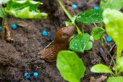 Γυμνοσάλιαγκας που τρώει το σιτάρι σαλιγκαριών στοκ φωτογραφία με δικαίωμα ελεύθερης χρήσης