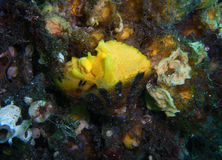 Γυμνοσάλιαγκας θάλασσας fungina Tylodina Στοκ Εικόνες