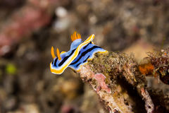 Γυμνοσάλιαγκας θάλασσας Nudibranch annae Chromodoris Στοκ εικόνες με δικαίωμα ελεύθερης χρήσης