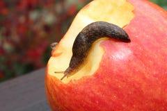 Γυμνοσάλιαγκας που σέρνεται στην κόκκινη Apple με ένα δάγκωμα σε το Στοκ Φωτογραφία