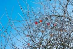 Γυμνός και τα δέντρα μηλιάς με τα παγωμένα κόκκινα μήλα σε το στοκ εικόνες