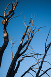 γυμνό δέντρο κλάδων Στοκ εικόνα με δικαίωμα ελεύθερης χρήσης