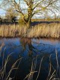 Γυμνό δέντρο στους βάλτους Cambridgeshire Στοκ Εικόνα