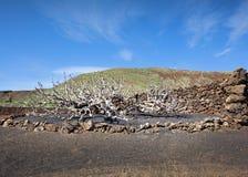 Γυμνό δέντρο σύκων σε Lanzarote το χειμώνα Στοκ Εικόνες