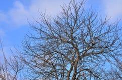 γυμνό δέντρο Στοκ Εικόνες