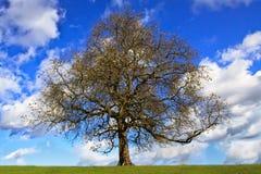 γυμνό δέντρο κάστανων Στοκ Εικόνες