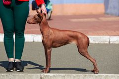 Γυμνό σκυλί Inca στοκ φωτογραφία