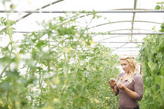 Γυναίκα αγρότης που ελέγχει τις τοματιές στο θερμοκήπιο Στοκ εικόνα με δικαίωμα ελεύθερης χρήσης