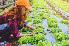 Γυναίκα Ασιάτης κηπουρών Φροντίδα για τη φυτική πράσινη βαλανιδιά σαλατών στον κήπο στο βρεφικό σταθμό στοκ εικόνα