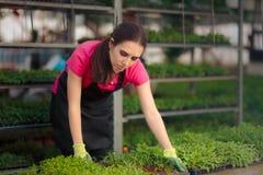 Γυναίκα εργαζόμενος θερμοκηπίων που φροντίζει τα σπορόφυτα Στοκ Εικόνες