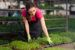 Γυναίκα εργαζόμενος θερμοκηπίων που φροντίζει τα σπορόφυτα Στοκ εικόνα με δικαίωμα ελεύθερης χρήσης