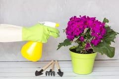 Γυναίκα με τα γάντια που ψεκάζουν ένα ανθίζοντας λουλούδι ενάντια στις ασθένειες εγκαταστάσεων και τα παράσιτα Ψεκαστήρας χεριών  στοκ εικόνα