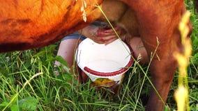 Γυναίκα που αρμέγει μια αγελάδα στο αγροτικό ύφος απόθεμα βίντεο
