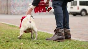 Γυναίκα που αφήνει το σκυλί από το λουρί, αστείος μαλαγμένος πηλός που φορά το κοστούμι Santa, πνεύμα Χριστουγέννων απόθεμα βίντεο