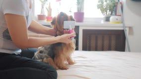 Γυναίκα που βουρτσίζει το σκυλί της αστείος τηλεοπτικός τρόπος ζωής σκυλιών κορίτσι που κτενίζει τη λίγο δασύτριχη προσοχή κατοικ απόθεμα βίντεο