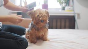 Γυναίκα που βουρτσίζει το σκυλί της αστείο βίντεο σκυλιών κορίτσι που κτενίζει τη λίγο δασύτριχη προσοχή κατοικίδιων ζώων σκυλιών απόθεμα βίντεο