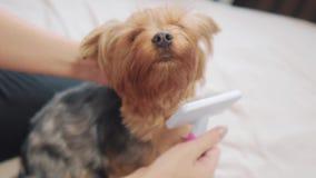 Γυναίκα που βουρτσίζει το σκυλί της αστείο βίντεο τρόπου ζωής σκυλιών κορίτσι που κτενίζει τη λίγο δασύτριχη προσοχή κατοικίδιων  απόθεμα βίντεο