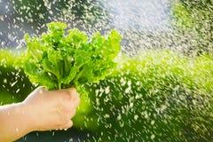 Γυναίκα που επιλέγει τη φρέσκια σαλάτα από το φυτικό κήπο της Φύλλα μαρουλιού κάτω από τις σταγόνες βροχής Στοκ Εικόνες