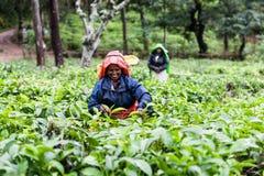 Γυναίκα που εργάζεται στις φυτείες τσαγιού στη Σρι Λάνκα Στοκ Εικόνες