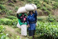 Γυναίκα που εργάζεται στις φυτείες τσαγιού στη Σρι Λάνκα Στοκ Φωτογραφίες