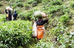 Γυναίκα που εργάζεται στις φυτείες τσαγιού στη Σρι Λάνκα Στοκ Φωτογραφία
